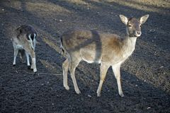 Matka i dziecko, ugorów deers Obrazy Stock