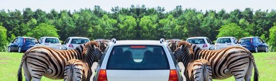 Matka i dziecko - zebra na samochodzie Obrazy Royalty Free