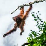 Matka i lisiątko Bornean Orangutan na drzewie w naturalnym siedlisku Obrazy Stock