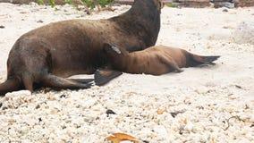 Matka miewa skłonność jej dziecko denny lew na plaży przy isla genovesa w Galapagos zbiory