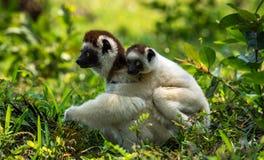 Matka Verreaux Sifaka w Madagascar i dziecko Obraz Stock