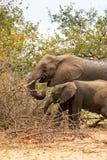 Matka z dziecko słonia karmieniem w Bush, Kruger park, Południowa Afryka Zdjęcie Royalty Free