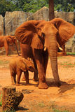 Matka z dziecko słoniami Chodzi Outdoors. Zdjęcia Stock