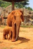 Matka z dziecko słoniami Chodzi Outdoors. Obrazy Stock
