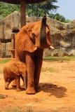 Matka z dziecko słoniami Chodzi Outdoors. Fotografia Royalty Free