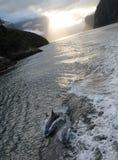 Matki I łydka delfinu strąka pływanie PRZY wschodem słońca W MILFORD dźwięku zdjęcie stock