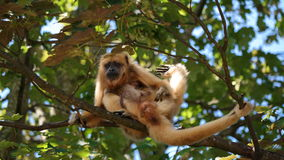 Matki i córki małpa Zdjęcie Royalty Free