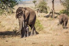 Matki i dzieci słonie Obrazy Stock