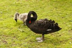 Matki i dziecka czarnego łabędź cygnus atratus Zdjęcie Stock