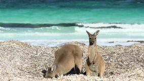 Matki i dziecka kangur patrzeje wewnątrz kamera w przylądka Le Grand National parku przy szczęsliwą zatoki plażą zbiory