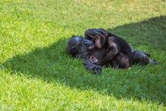Matki i dziecka szympansy Zdjęcia Royalty Free