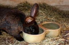 Matning av den inhemska kaninen Royaltyfria Bilder