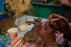 Matning av den unga haren Fotografering för Bildbyråer