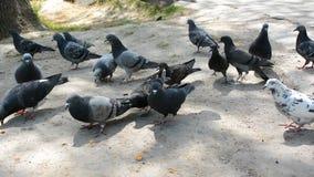 Matning av duvor med brödsmulor i det stads- parkerar After flyger den flock av fåglar bort lager videofilmer