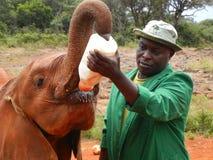 Matning av en behandla som ett barnelefant, David SheldrickÂs djurlivförtroende, Kenya arkivfoto