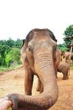 Matning av en elefant i en fristad Arkivfoto