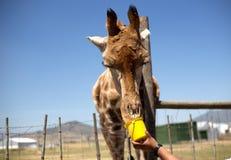 Matning av en giraff från en hink royaltyfria bilder