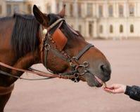 Matning av en häst med hans händer Royaltyfria Bilder