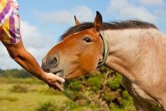 Matning av en häst vid handen Arkivbild