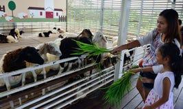 Matning av fåren Fotografering för Bildbyråer