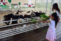 Matning av fåren Arkivfoton