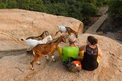 Matning av getterna Folk och djur Mindre munkar Royaltyfri Bild