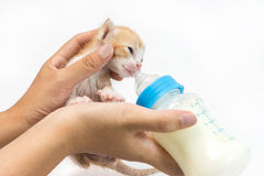 Matning av kattungen på vit bakgrund Arkivbild