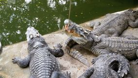 Matning av krokodiler som ligger på jordningen nära den gröna sumpiga floden i zoo thailand askfat stock video