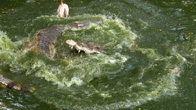 Matning av krokodiler som ligger på jordningen nära den gröna sumpiga floden i zoo thailand askfat arkivfilmer