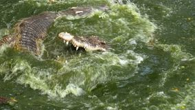 Matning av krokodiler som ligger på jordningen nära den gröna sumpiga floden i zoo thailand askfat lager videofilmer