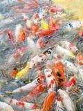 Matning av många fiskar Arkivfoton