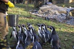 Matning av pingvinen Pingvinmatningstid Man som matar många pingvinet i zoo Royaltyfri Bild
