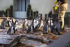 Matning av pingvinen Pingvinmatningstid Man som matar många pingvinet i zoo Royaltyfri Fotografi