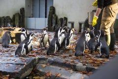Matning av pingvinen Pingvinmatningstid Man som matar många pingvinet i zoo Arkivfoto