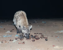 Matning av prickiga hyenor Harar, Etiopien Royaltyfri Bild