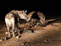Matning av prickiga hyenor, Harar Etiopien Royaltyfri Foto
