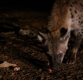 Matning av prickiga hyenor, Harar Etiopien Arkivbilder
