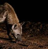 Matning av prickiga hyenor, Harar Etiopien Royaltyfria Foton