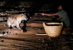 Matning av prickiga hyenor, Harar Etiopien Royaltyfri Fotografi
