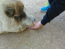 Matning av svinen Arkivfoton