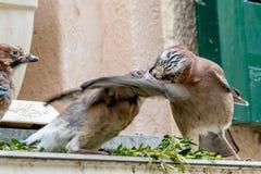 Matning för Eurasiannötskrika (Garrulusglandarius) Arkivfoton