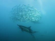 Matning för gemensamma delfin Fotografering för Bildbyråer