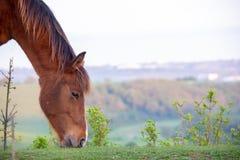 Matning för hästhuvud arkivbild