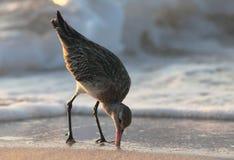 Matning för Hudsonian Godwit. Arkivfoto
