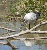 Matning för sakral ibis Royaltyfri Fotografi