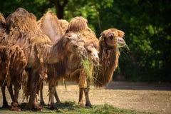 Matning för tre Bactrian kamel Royaltyfria Bilder