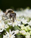 Matning hoverfly Fotografering för Bildbyråer