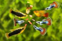 Matning svärmer den tetra akvariefisken som äter flingamat fotografering för bildbyråer