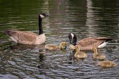 Matning Tid för familj för Kanada gås (Brantacanadensis) Royaltyfria Foton