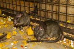 Matning tjaller i den Karni Mata templet Fotografering för Bildbyråer